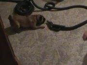 Puggle Vs Vacuum