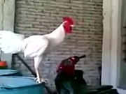 Laughing Rooster