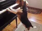 Beagle Playing Piano