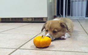 Corgi Puppy Vs Pumpkin