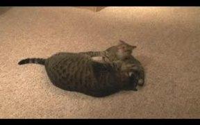 Cat vs Kitten