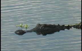 Myakka Park - Full Grown Alligator