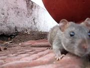 A hungry mouse at Hussain Sagar