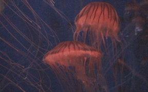 Cute Jelly Fish