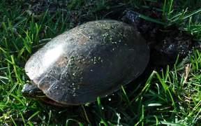 Painted Turtle Nesting