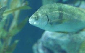 Three Fishes Swimming