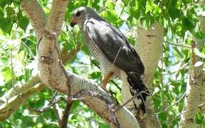 Humans And Stress In Breeding Gray Hawks