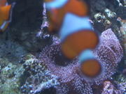 Clown Fish Swimming