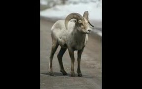 Grand Teton National Park: Bighorn Sheep