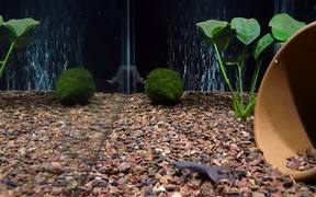 Three-Tap African Dwarf Frog Feeding