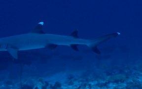 Whitetip Reef Shark Swims