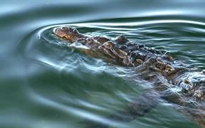 The Crocodile and The Hutia
