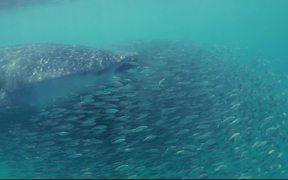 Whale Shark Surfing