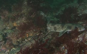 Small-Spotted Catshark Approaches the Camera