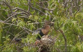 Everglades National Park: Anhingas