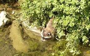 Raccoon Dabbling for Underwater Food