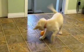 Yellow Lab Puppy Having Fun with an Orange