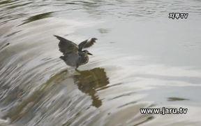 The Striated Heron