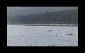 Glacier Bay National Park: Humpback Whales