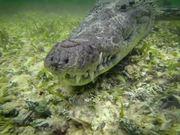 Crocs Chinchorro   Pelagic Life