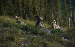 Glacier National Park: Bighorn Sheep