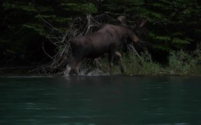 Glacier National Park: Moose