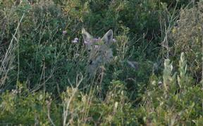 Glacier National Park: Coyote
