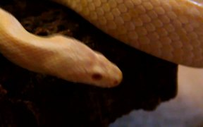 Albino Snake in Macro View - Slow Motion