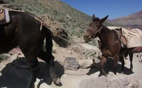 GCNP: Pack Mule Train on South Kaibab Trail