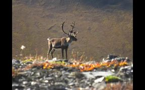 Gates Of The Arctic National Park: Caribou