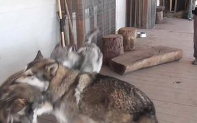 3 Rescue Wolf Dogs Mix Playing LARC3