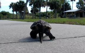 Cute Turtle Walking