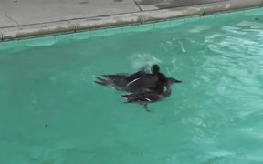 Ducks_Mating_In_The_Pool_Swimming2