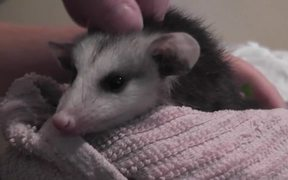 Opossum Baby Possum Rescued On Bed