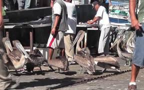 Pelicans Eating Butchered Swordfish Cabo San Lucas