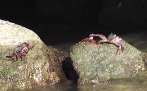 Red Crabs On Rocks Cabo San Lucas