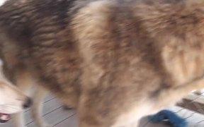 Rescue Wolf Dog Mix Scratches Himself LARC
