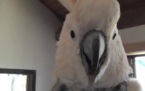 Salmon Crested Cockatoo Pecks Camera Close Up