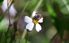 Honey Bees Pollination