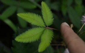 Mimosa Pudica (Sleepy Plant)