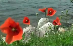 Red Poppy on the Wind
