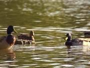 Beautiful Ducks in Slow Motion