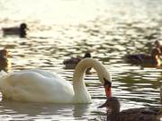 White Swan in Slow Motion