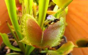 Venus Flytrap vs Beetles in Macro