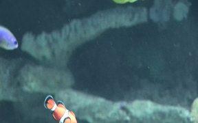 Aquarium Clownfish II
