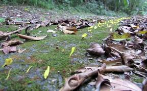 Leafcutter Ants Transporting Yellow Flowers
