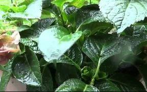 Raindrops on the Leaf