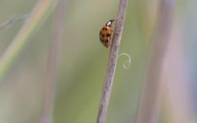 Ladybug сlimbing the stalk