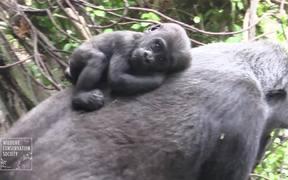 Gorilla Babies