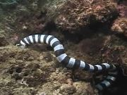Sea Snake vs Moray Eel